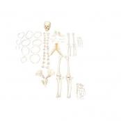 Esqueleto Humano Desarticulado Sdorf