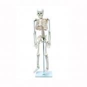 Esqueleto Humano de 85 cm com Haste e Suporte Sdorf